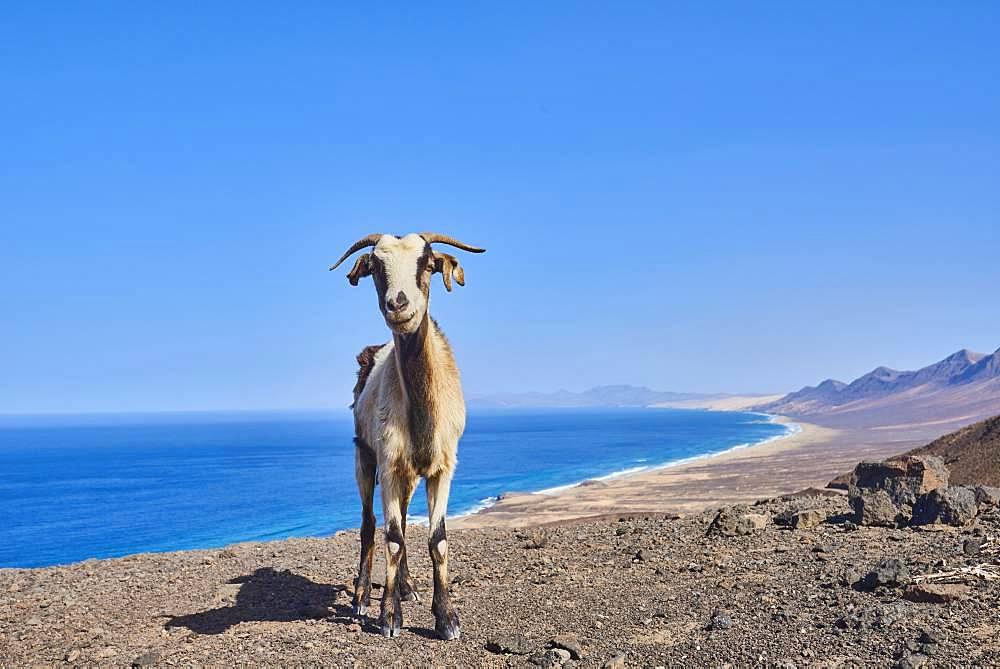 Domestic Goat (Capra aegagrus hircus ), Playa de Cofete, Fuerteventura, Canary Islands, Spain, Europe
