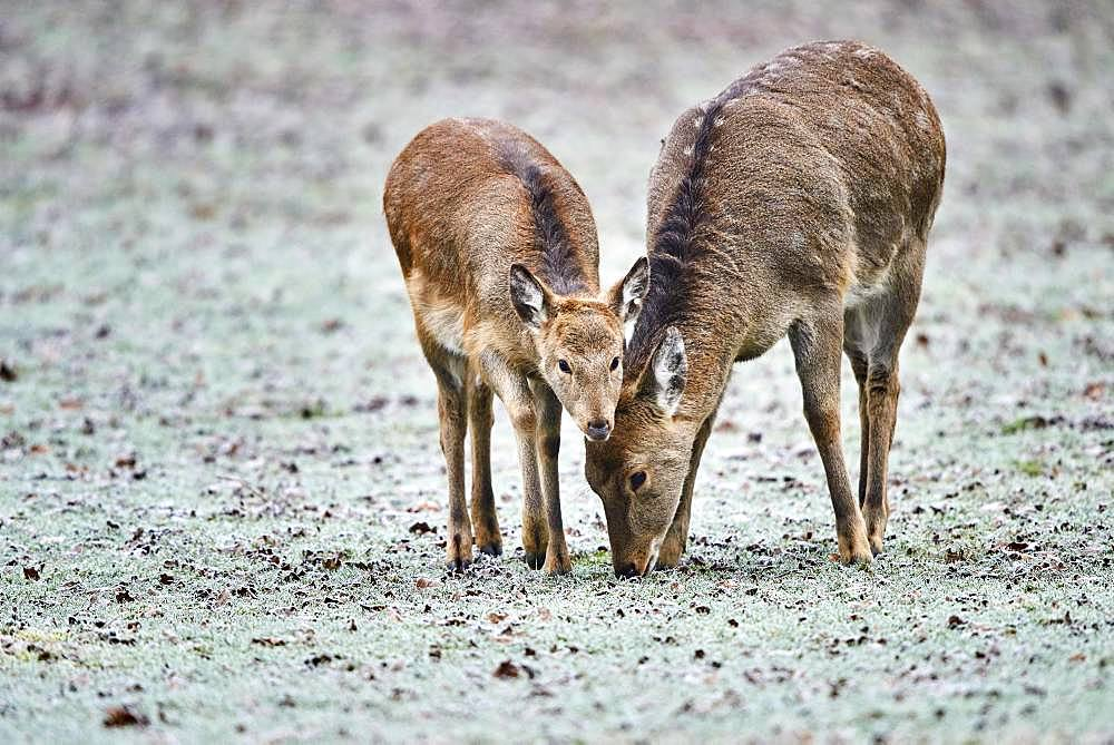 Young (Cervus nippon) in a meadow with hoarfrost, captive, Germany, Europe