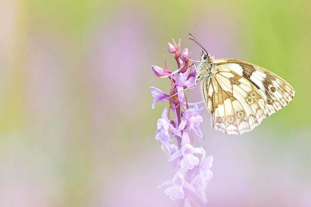 Marbled white (Melanargia galathea) sits on orchid (orchis), Bavaria, Germany, Europe