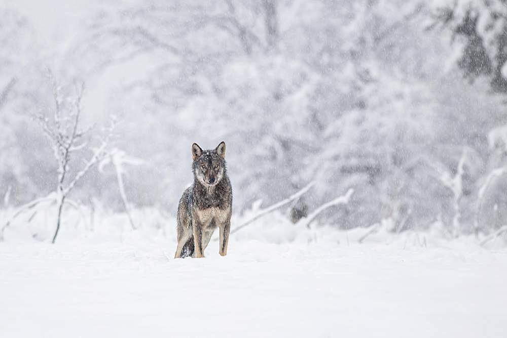A wolf (Canis lupus) on a meadow in a winter setting, Bieszczady, Poland, Europe