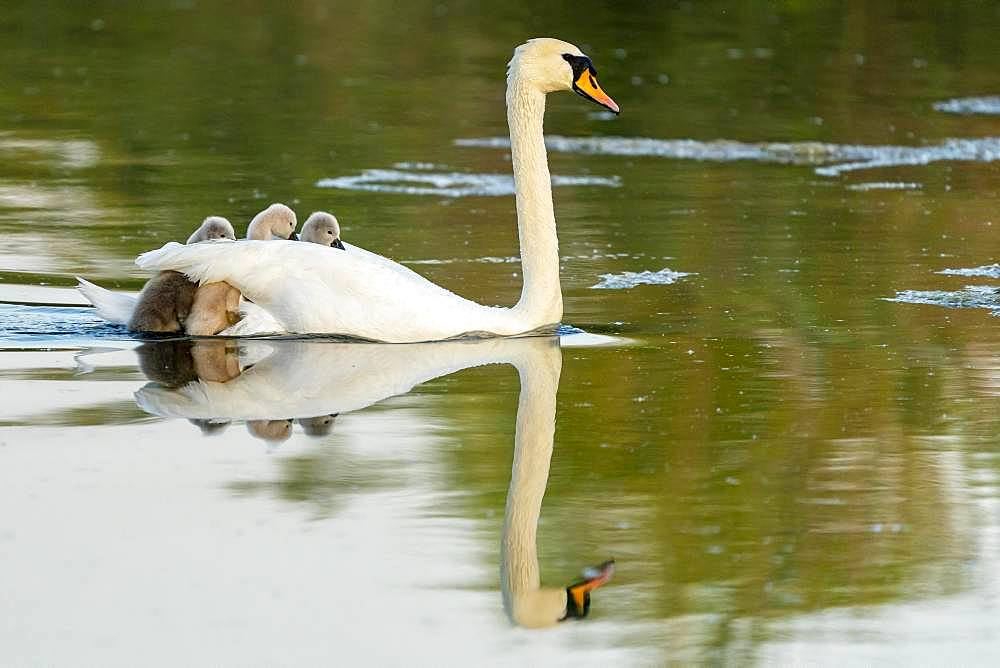Mute swan (cygnus olor), adult bird swims with chick on its back, Germany, Europe - 832-388588