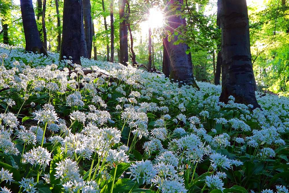Bloomer (Allium ursinum), beech forest, back light, Greifenstein, Hesse, Germany, Europe