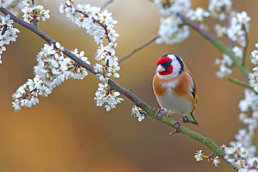 European goldfinch (Carduelis carduelis) on flowering blackthorn branch, Solms, Hesse, Germany, Europe