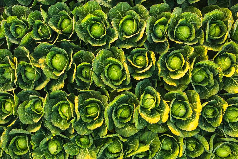 Cabbage field, aerial photograph, background picture, Austria, Europe