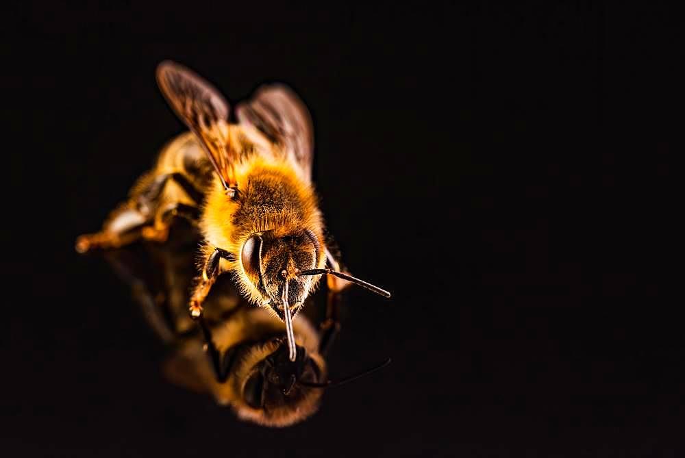 Honey bee (Apis mellifera ), studio recording, black background, Austria, Europe - 832-388604