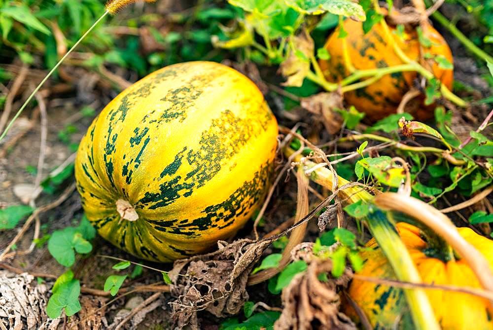 Pumpkin growing in a field, Austria, Europe