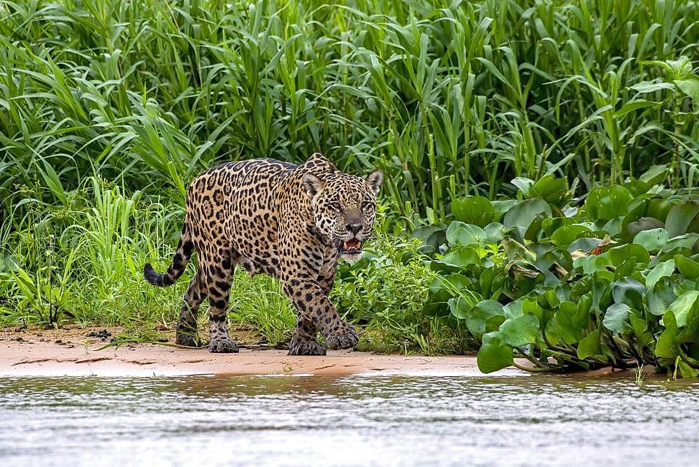 Jaguar (Panthera Onca), stalks in the shore area, Matto Grosso do Sul, Pantanal, Brazil, South America - 832-388646