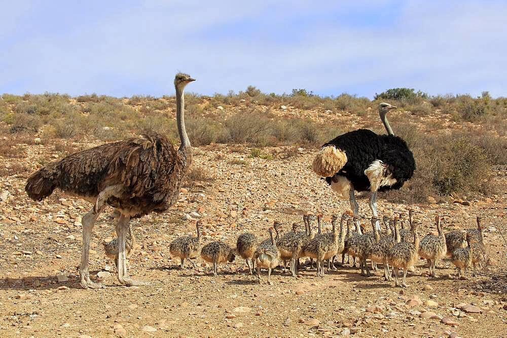 South African ostrich (Struthio camelus australis), adult, female, male, pair, young, family, group, alert, foraging, Oudtshoorn, Western Cape, South Africa, Africa