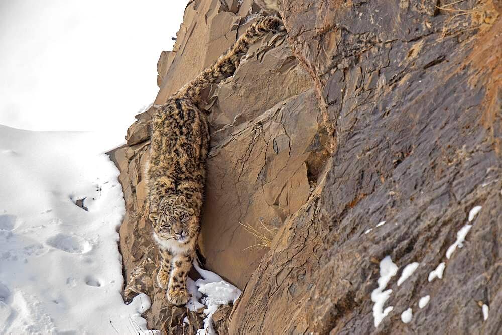 Snow leopard (Panthera uncia) on snowy rock, Iin Spiti region of the Indian Himalayas, India, Asia
