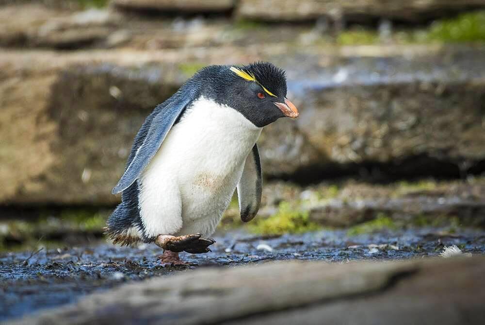 Rockhopper Penguin (Eudyptes chrysocome), Saunders Island, Falkland Islands, Great Britain, South America. Photo: Matthias Graben, South America