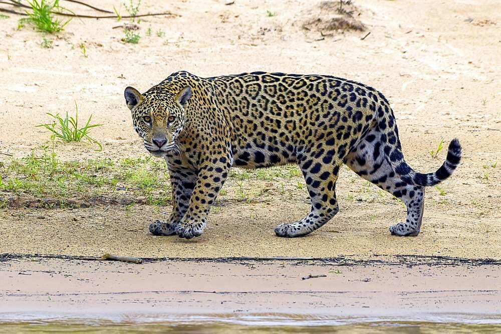 Jaguar (Panthera Onca), Matto Grosso do Sul, Pantanal, Brazil, South America