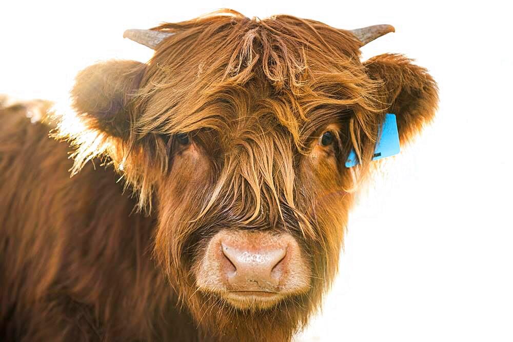 Scottish Highland Cattle, Kyloe, young animal portrait, Ashburton Lakes, Ashburton, Canterbury, New Zealand, Oceania