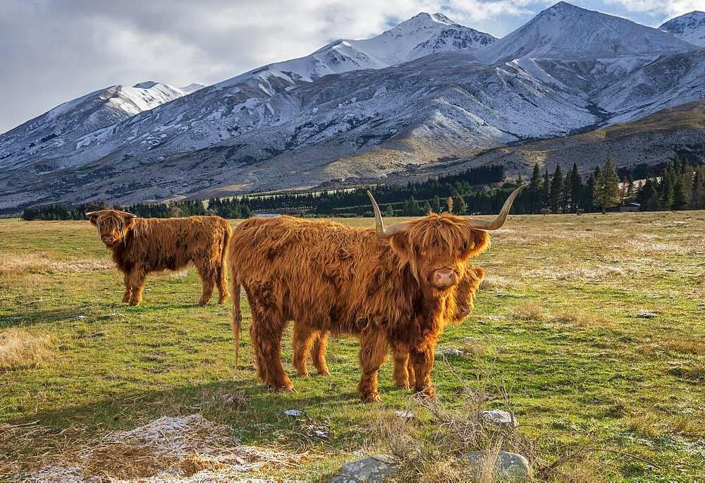 Scottish Highland Cattle, Kyloe, grazing, Ashburton Lakes, Ashburton, Canterbury, New Zealand, Oceania