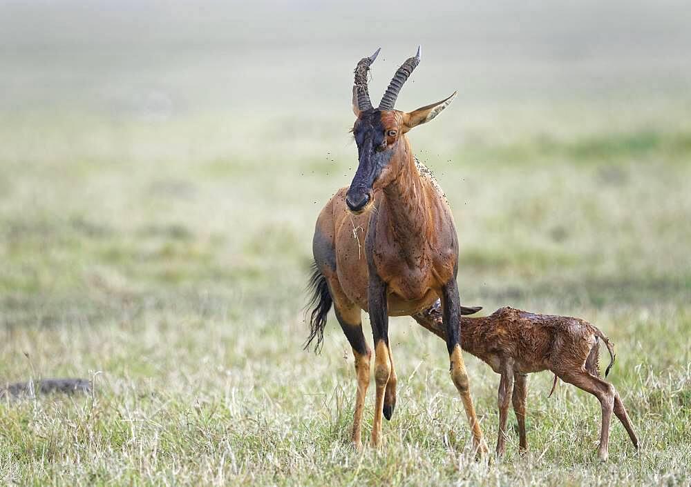 Sassaby- (Damaliscus lunatus) with newborn calf, Masai Mara Game Reserve, Kenya, Africa