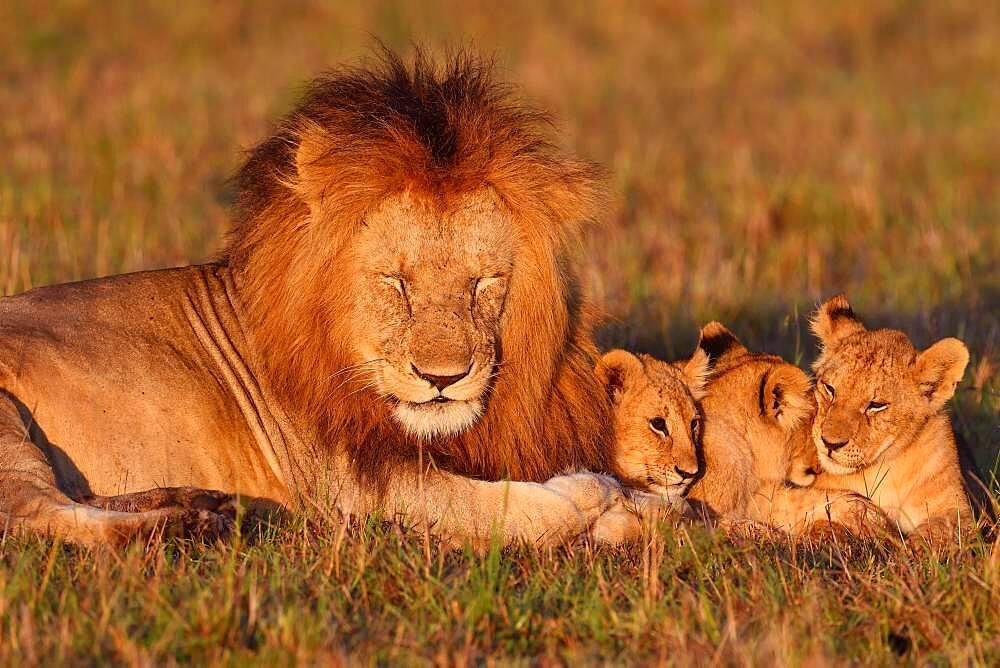 Lion (Panthera leo) and young animals, Masai Mara Game Reserve, Kenya, Africa
