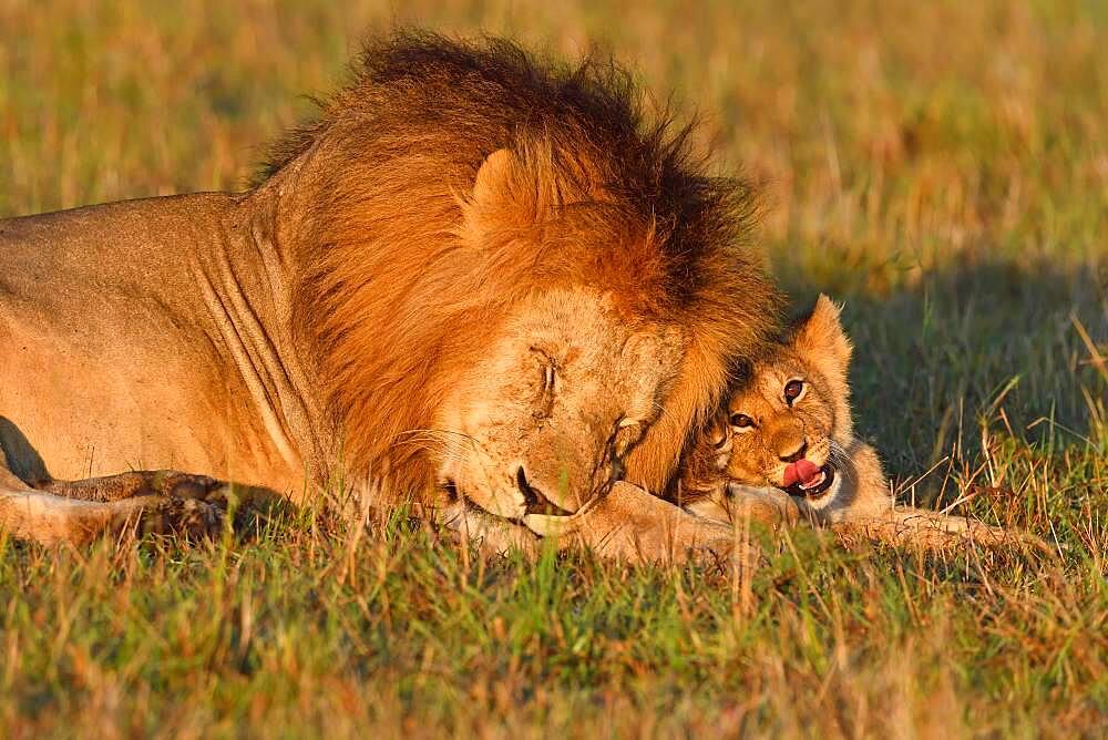 Manes (Panthera leo) and young animal, Masai Mara Game Reserve, Kenya, Africa