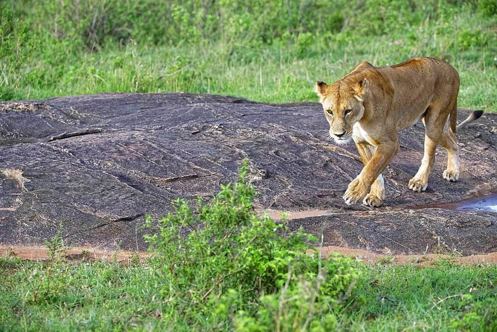 Lioness (Panthera leo), Msaai Mara Game Reserve, Kenya, Africa