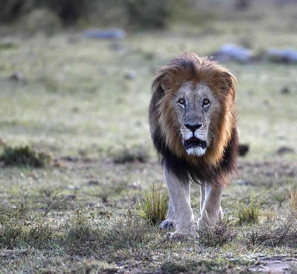 Lion (Panthera leo) at sunrise in the grass savannah, Masai Mara Game Reserve, Kenya, Africa