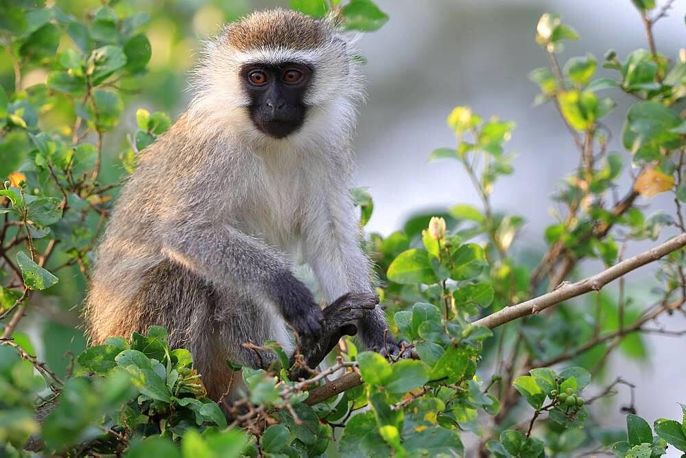 Vervet Monkey (Chlorocebus pygerythrus), eating, sitting in the bush, Queen Elizabeth National Park, Uganda, East Africa, Africa