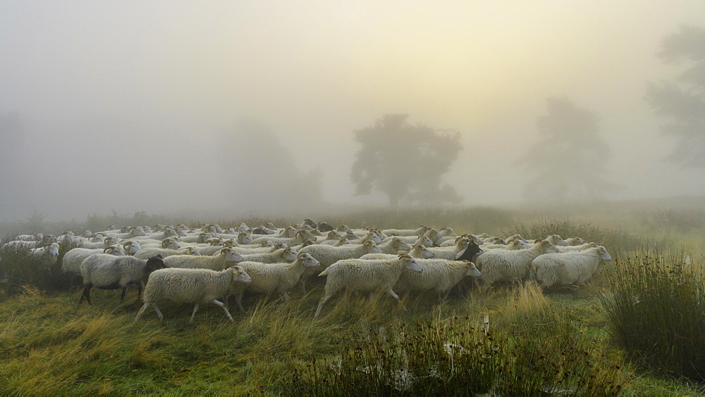 Flock of sheep in the heath at the Thuelsfeld dam at sunrise in the fog, County of Cloppenburg, Lower Saxony, Germany, Europe