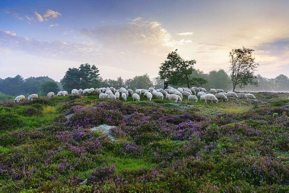 Shepherd with a flock of sheep in the heath at the Thuelsfeld dam at sunrise in the fog, pine, tree, district of Cloppenburg, Lower Saxony, Germany, Europe