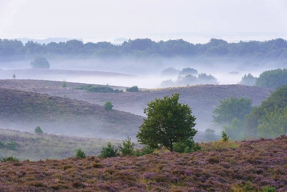Pine in blooming heath with fog in the valleys, tree, heath landscape, National Park Veluwezoom, Arnhem, Netherlands