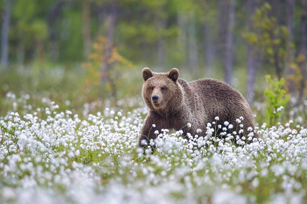 Brown bear (Ursus arctos ) in a bog with fruiting cotton grass on the edge in a boreal coniferous forest, Suomussalmi, Karelia, Finland, Europe