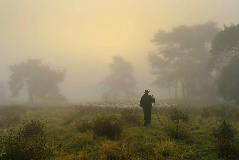 Shepherd with a flock of sheep in the heath at sunrise, at the Thuelsfeld dam, Lower Saxony, Germany, Europe