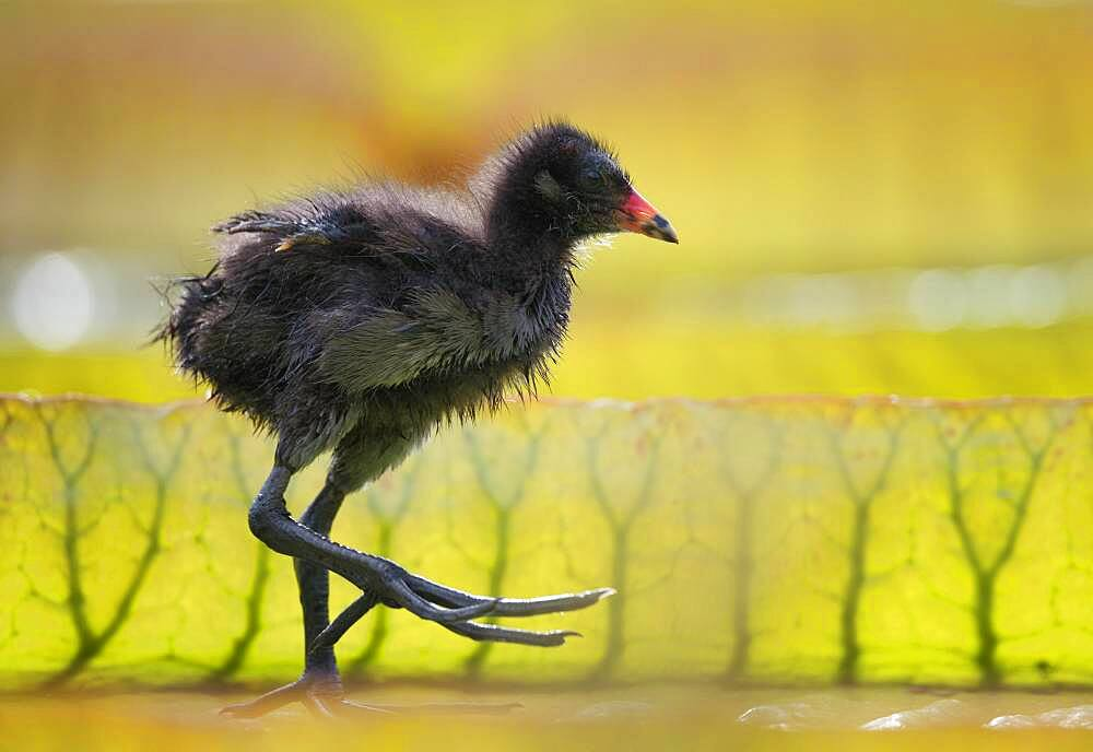 Common moorhen (Gallinula chloropus), young animal, chick, on leaves of the giant water lily (Victoria amazonica), Baden-Wuerttemberg, Germany, Europe