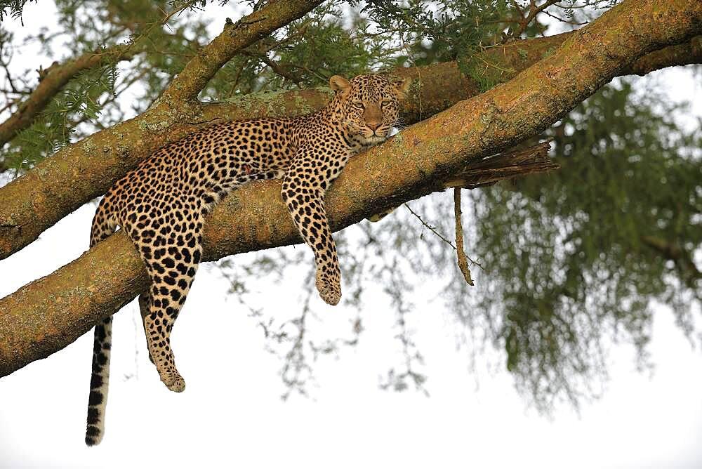 Leopard (Panthera pardus), female, lying in tree, Queen Elisabeth National Park, Uganda, Africa