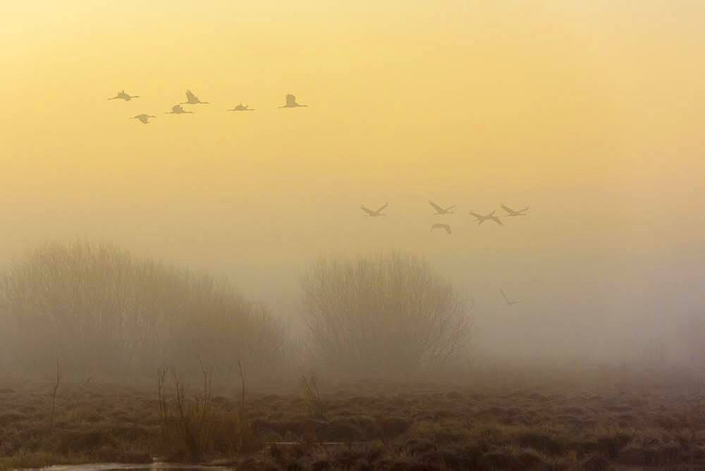 Flying cranes (grus grus) at daybreak over a misty moor, flock of birds, migratory birds, bird migration, Vaestergoetland, Sweden, Europe