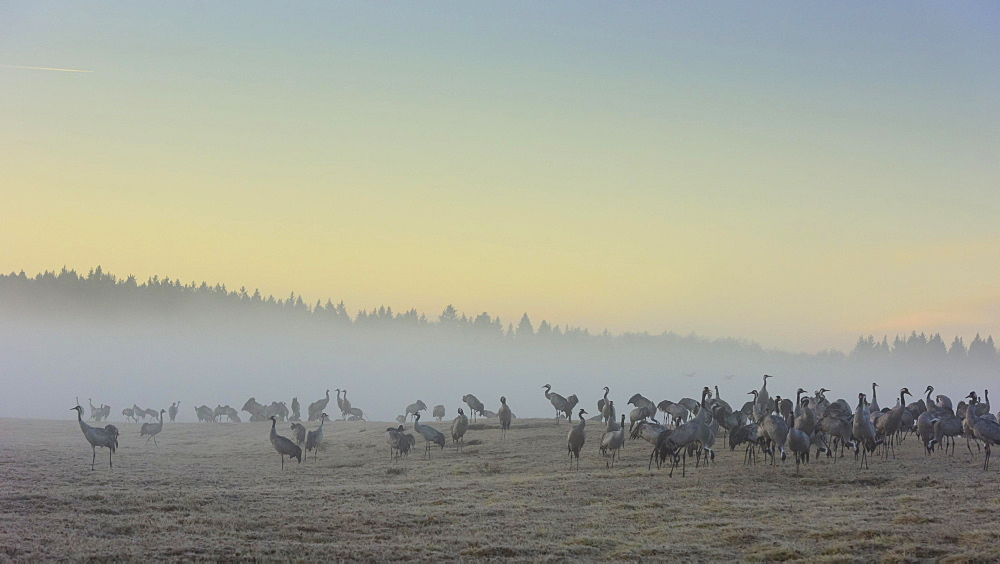Resting cranes (grus grus) at daybreak, flock of birds, migratory birds, bird migration, courtship display, Vaestergoetland, Sweden, Europe