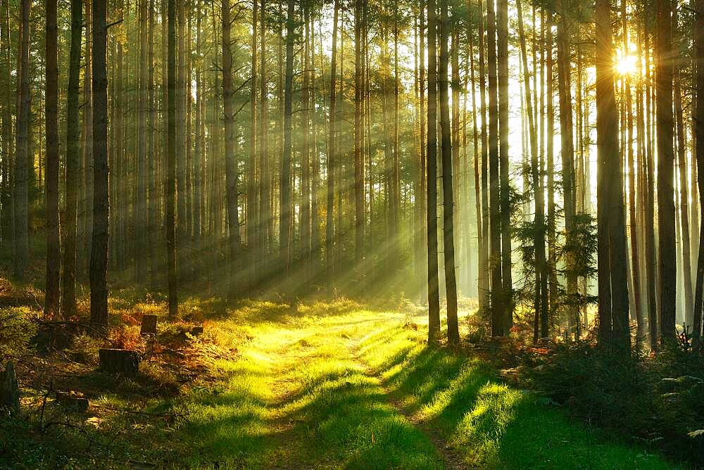 Forest path through pine forest in the morning light, sun shines through fog, near Paulinzella, Thuringia, Germany, Europe - 832-388905