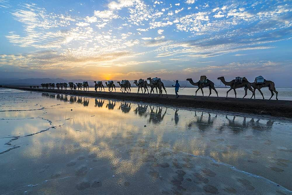 Camels loaded with rock salt slabs walk at sunset through a salt lake, salt desert, Danakil depression, Ethiopia, Africa - 832-389109