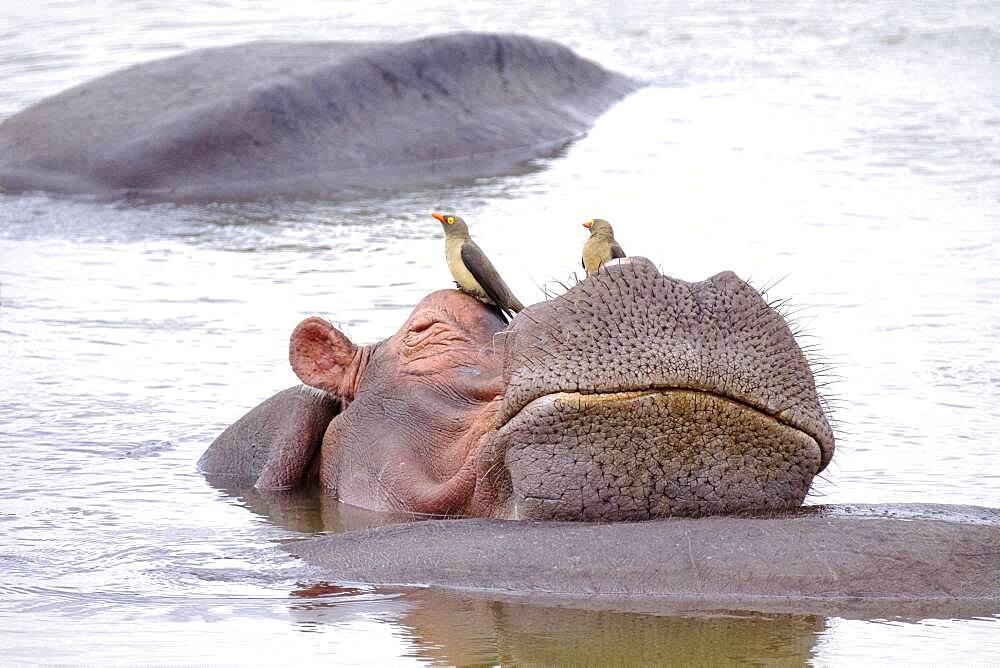 Hippopotamus (Hippopotamus amphibius) relaxing on another hippo, humor, Luangwa River, South Luangwa National Park, Zambia, Africa - 832-389232