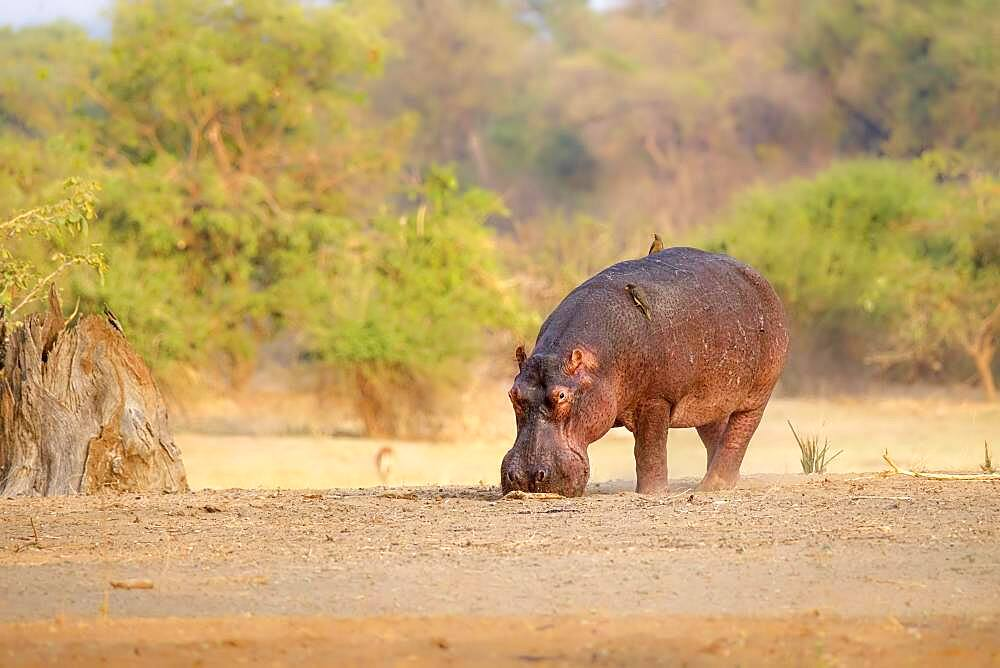 Hippopotamus (Hippopotamus amphibius), Luangwa River, South Luangwa National Park, Zambia, Africa - 832-389233