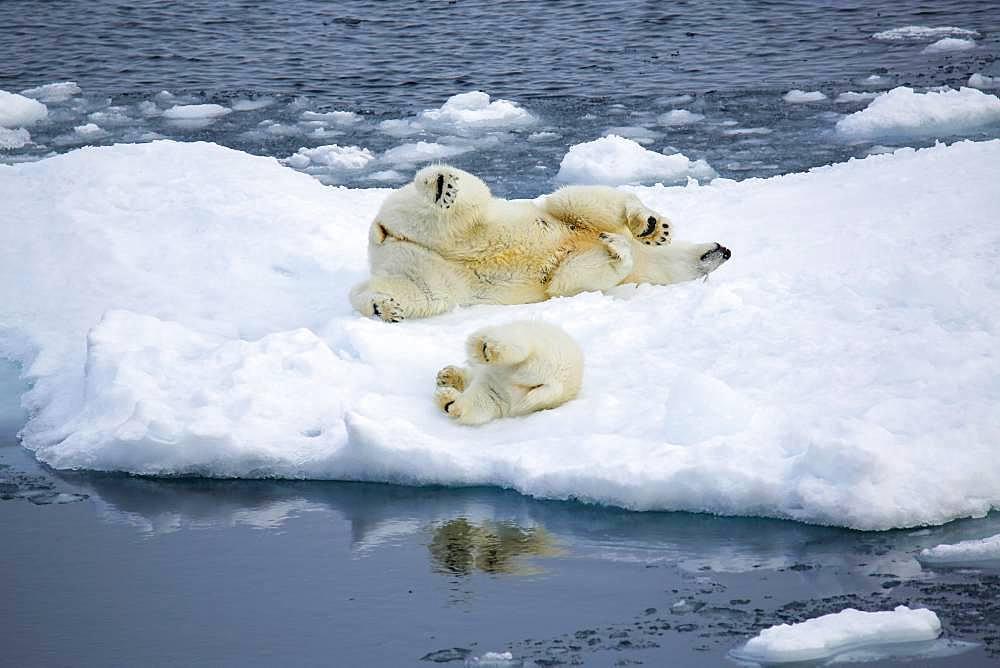 Polar bear with baby on ice floe, East coast Greenland, Denmark, Europe - 832-389448