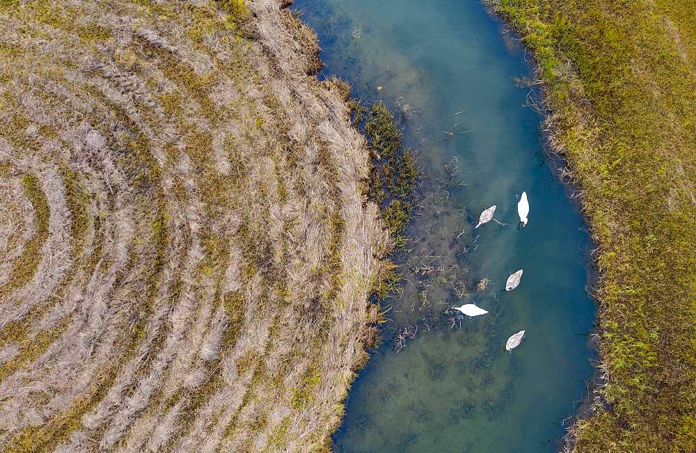 Natural course of the Zellerache river from the Irrsee with swans, wet meadow, from above, drone photo, aerial photo, Mondseeland, Salzkammergut, Upper Austria, Austria, Europe - 832-389613