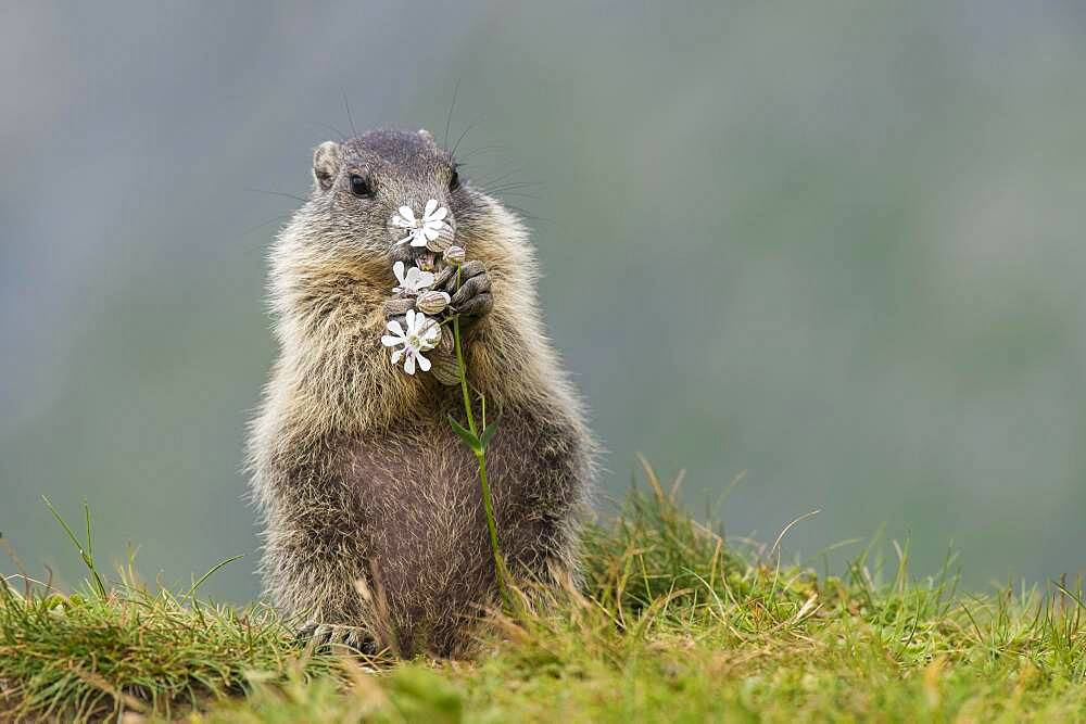 Young marmot (Marmota marmota) eating flower in the Alps, Hohe Tauern National Park, Austria, Europe - 832-389804