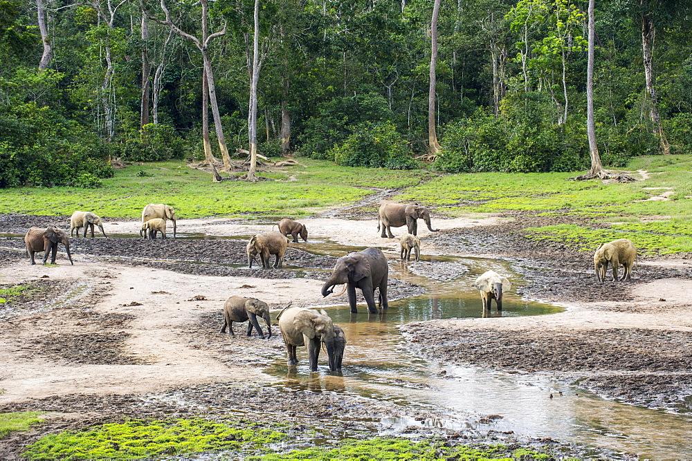 African forest elephants (Loxodonta cyclotis) at Dzanga Bai, Unesco world heritage sight Dzanga-Sangha Special Reserve, Central African - 832-389880