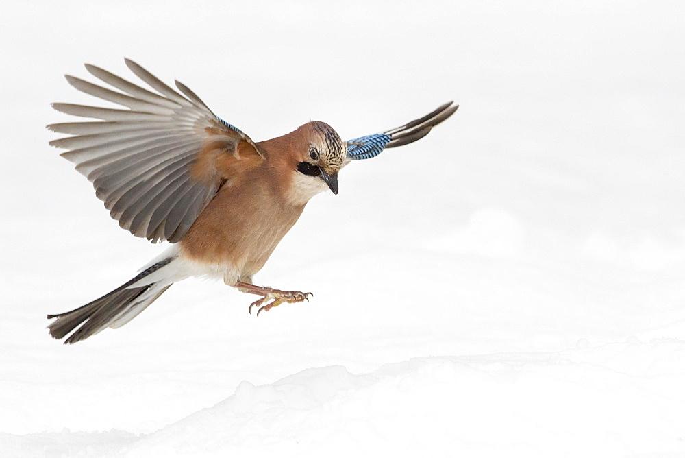 Eurasian jay (Garrulus glandarius) in flight, winter, snow, feeding, Germany, Europe - 832-389922