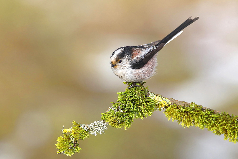 Long-tailed tit (Aegithalos caudatus), sitting on a branch covered with moss, Siegerland, North Rhine-Westphalia, Germany, Europe - 832-390365