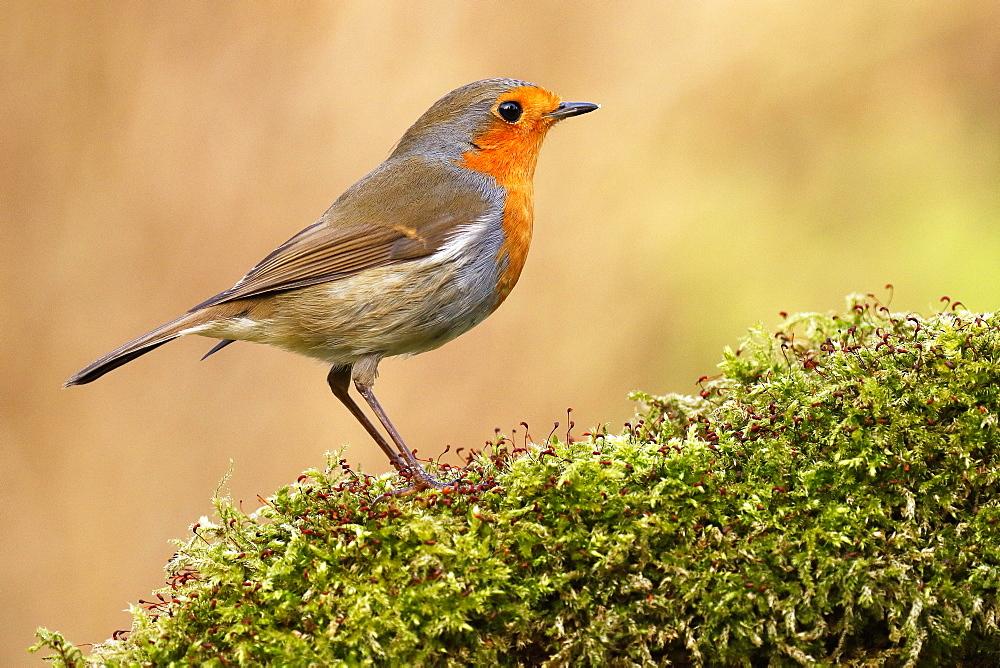 European robin (Erithacus rubecula) Schleswig-Holstein, Germany, Europe - 832-390460