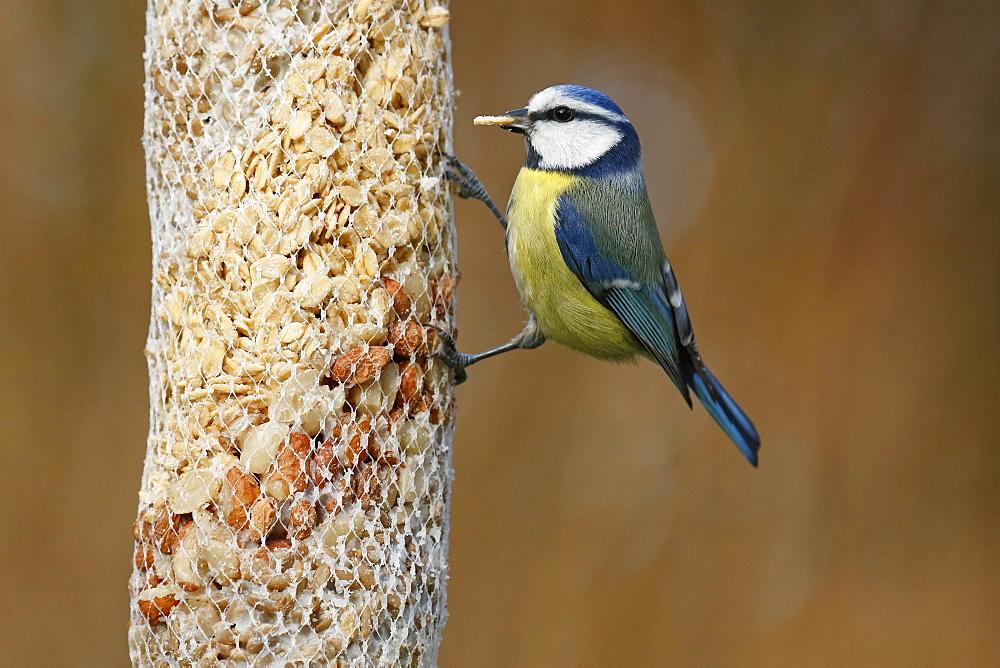Blue tit (Parus caeruleus) at a feeding bag, winter feeding, Schleswig-Holstein, Germany, Europe - 832-390461