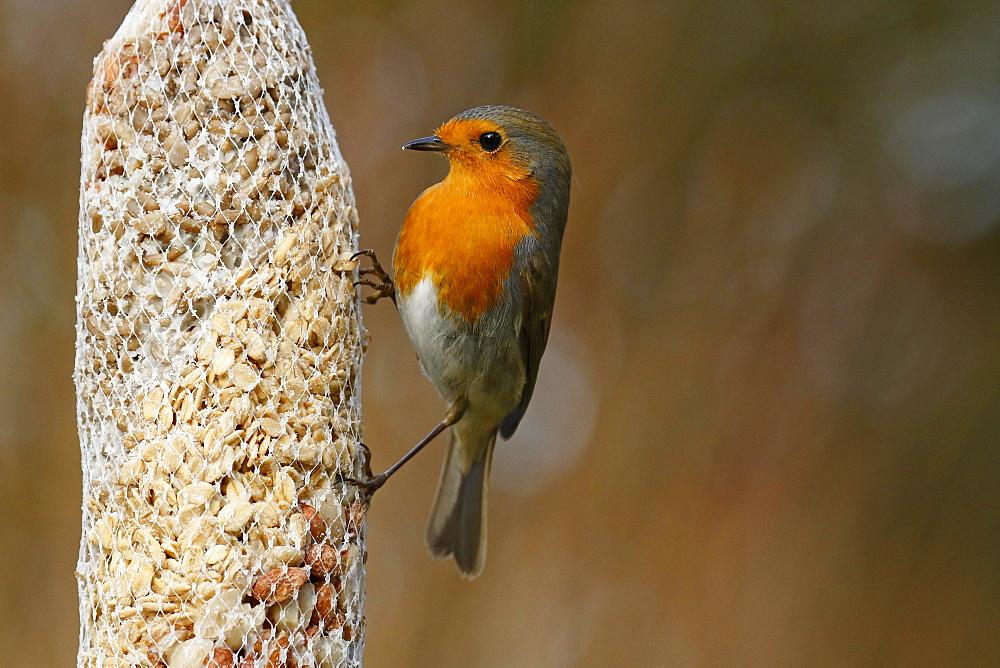 European robin (Erithacus rubecula) at a feeding bag, winter feeding, Schleswig-Holstein, Germany, Europe - 832-390466