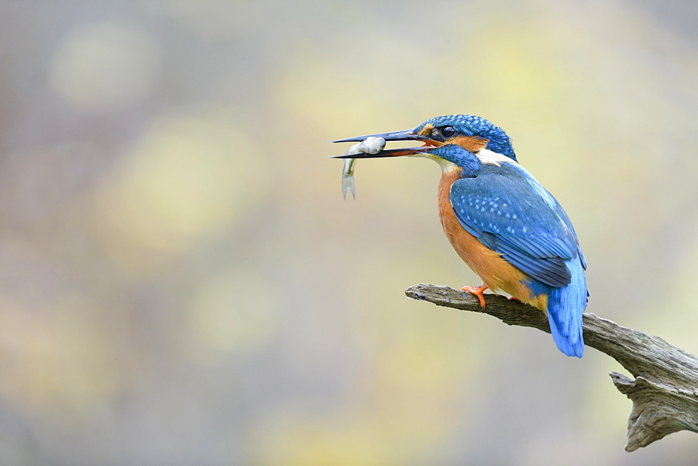 Common kingfisher (Alcedo atthis), with fish, Lower Saxony, Germany, Europe - 832-390503