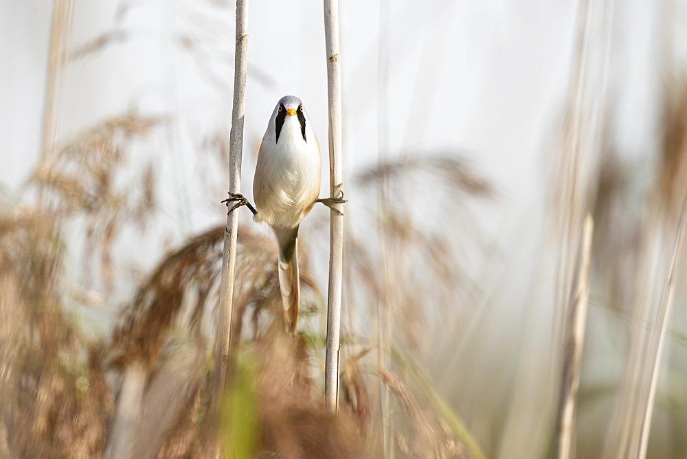 Bearded reedling (Panurus biarmicus), adult male straddling between two reed stalks, Federsee lake, Bad Buchau, Baden-Wuerttemberg, Germany, Europe - 832-390525