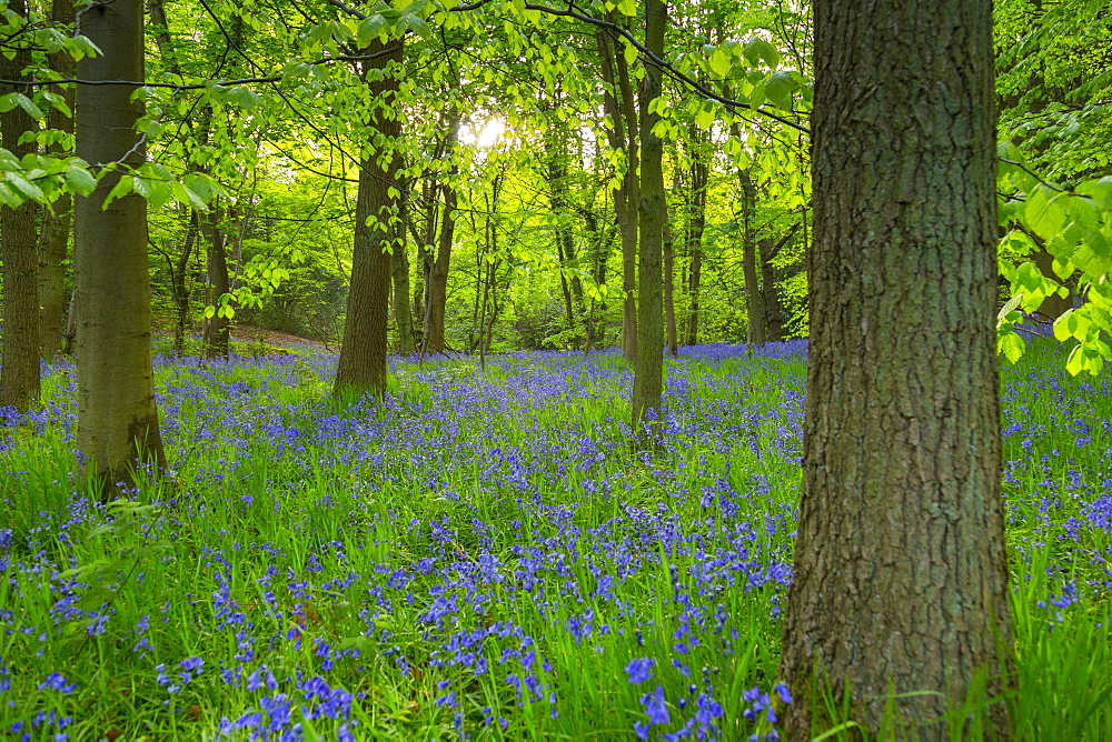 Bluebells in ancient woodland of Gillfield Wood, Totley, Sheffield, South Yorkshire, England, UK, Europe - 844-12761