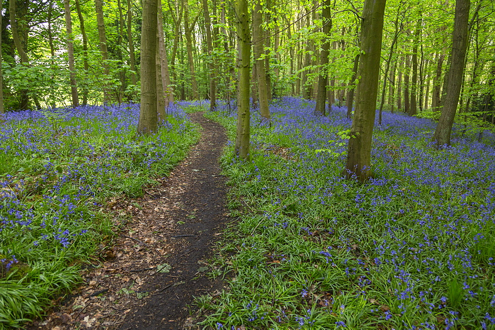 Bluebells in ancient woodland of Gillfield Wood, Totley, Sheffield, South Yorkshire, England, UK, Europe - 844-12762