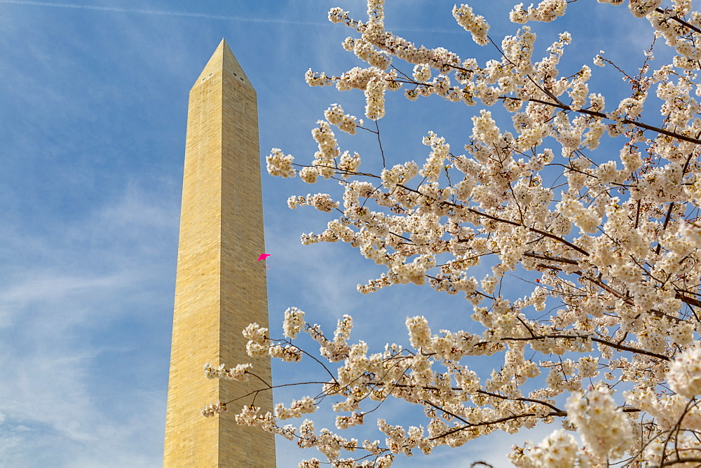View of Washington Monument and spring blossom, Washington D.C., United States of America, North America